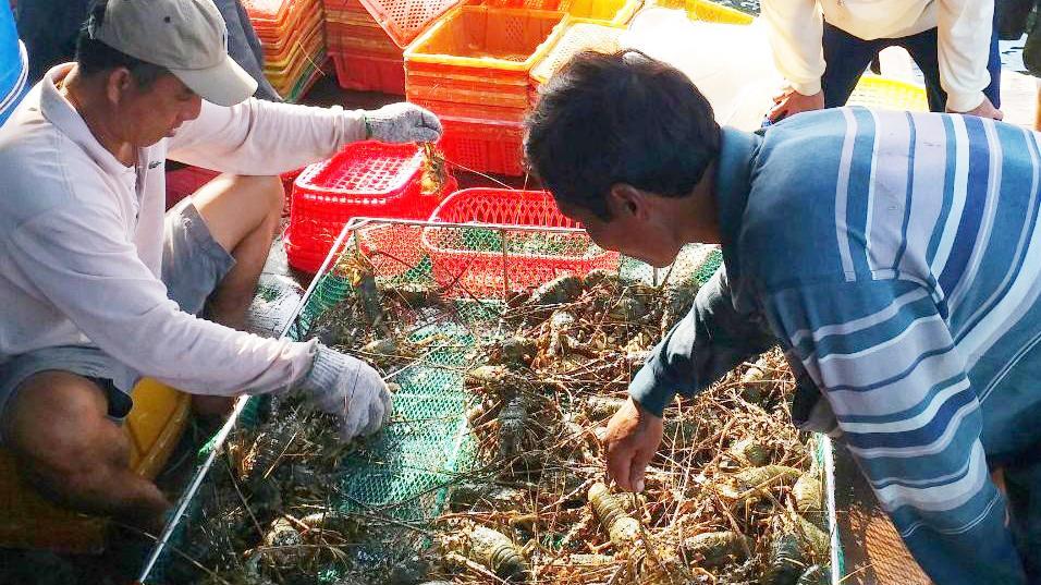 Ghi nhận mới nhất về giá tôm hùm tại Phú Yên, Khánh Hòa